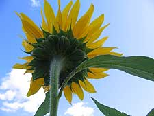 Photo of sunflower by Patti Jacobs