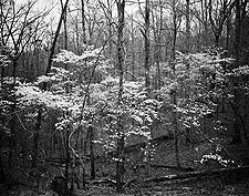 Dogwood by Kate Cleghorn