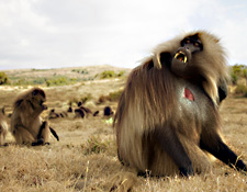 Photo of bleeding heart baboon
