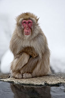 Snow Monkey by Larry Broder